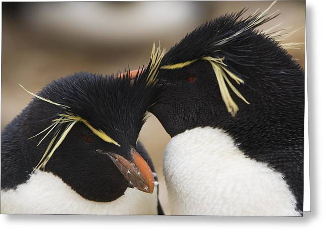 Love The Animal Greeting Cards - Two Rockhopper Penguins  Eudyptes Greeting Card by Daisy Gilardini