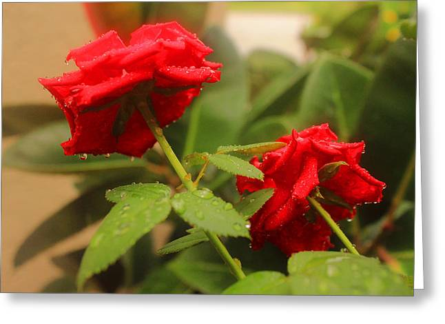 Rose Petals Greeting Cards - Two Roses Greeting Card by Aikas Singh