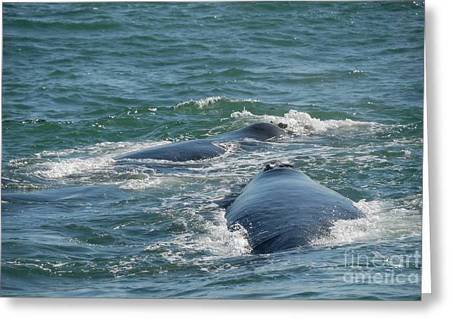 Right Whale Breach Greeting Cards - Two Southern right whale breaching Greeting Card by Sami Sarkis