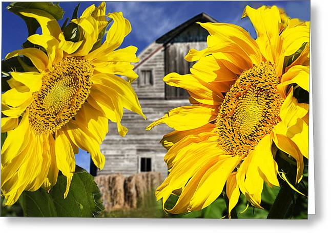 Close Focus Nature Scene Greeting Cards - Two Sunflowers Greeting Card by Donald  Erickson