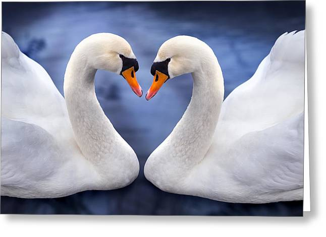 Valentine Greeting Cards - Two Swans Greeting Card by Simon Kayne