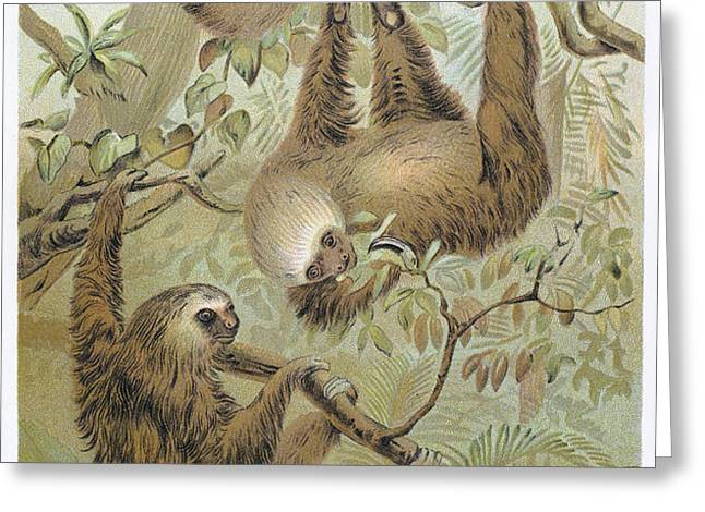 TWO-TOED SLOTH Greeting Card by Granger