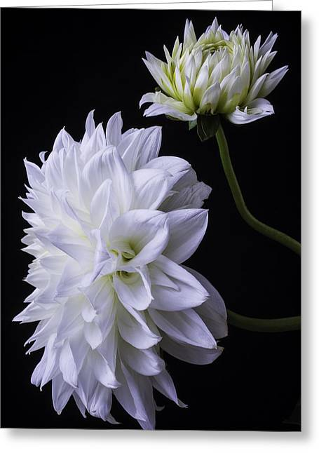 Large White Flower Close Up Greeting Cards - Two White Large Dahlias Greeting Card by Garry Gay