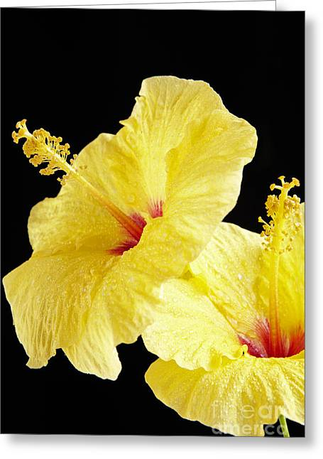 Moist Greeting Cards - Two Yellow Hibiscus Greeting Card by Kyle Rothenborg - Printscapes