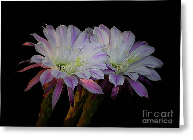 White Cactus Flower Greeting Cards - Twos Company  Greeting Card by Saija  Lehtonen