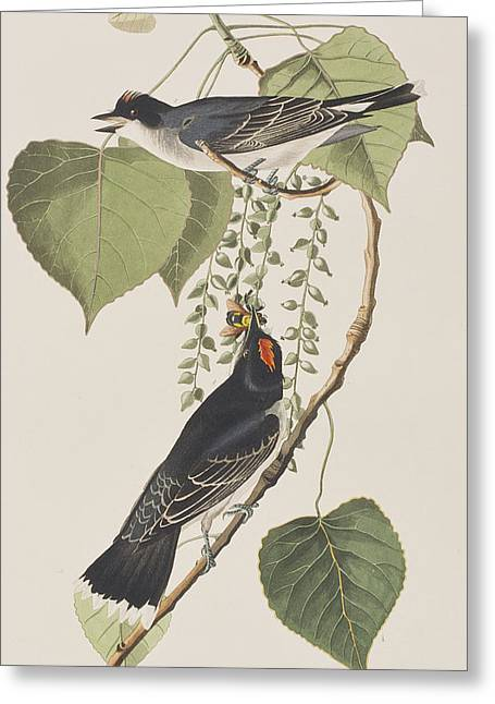 Tyrant Fly Catcher Greeting Card by John James Audubon
