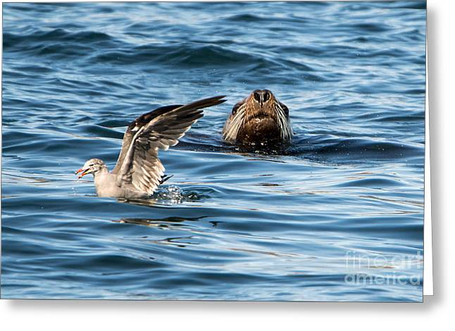 Sea Lions Photographs Greeting Cards - Unaware Greeting Card by Mike Dawson