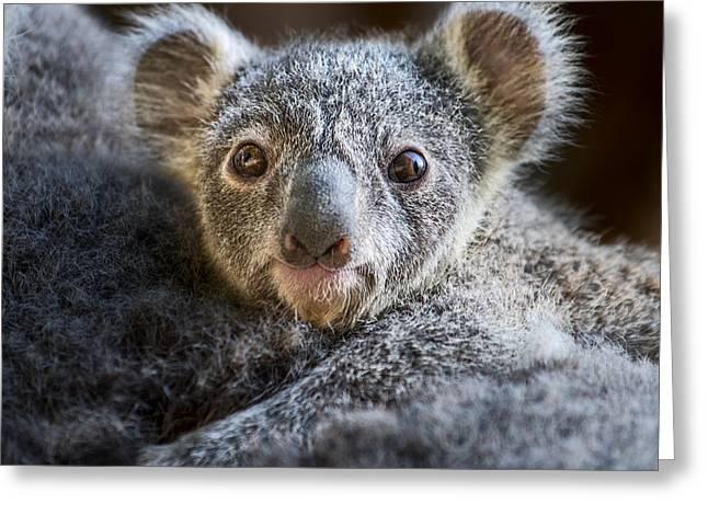 Up Close Koala Joey Greeting Card by Jamie Pham