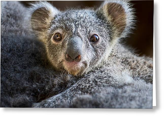 Koala Photographs Greeting Cards - Up Close Koala Joey Greeting Card by Jamie Pham