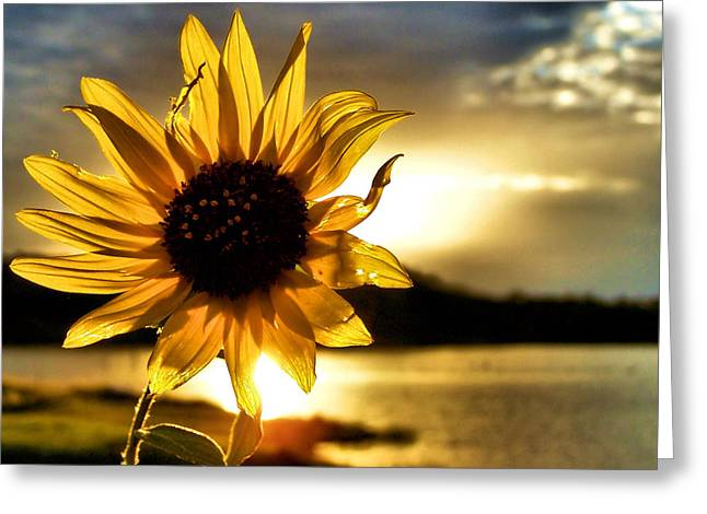 Sun Flower Greeting Cards - Up Lit Greeting Card by Karen M Scovill