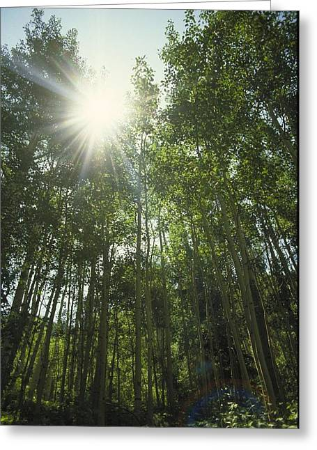 Beauty Greeting Cards - Upshot Of Sunlight Through Tall Trees Greeting Card by Gillham Studios