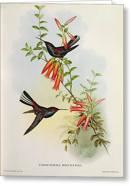 Fluttering Paintings Greeting Cards - Urochroa Bougieri Greeting Card by John Gould