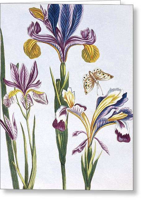 Variegated Iris Greeting Card by Pierre-Joseph Buchoz