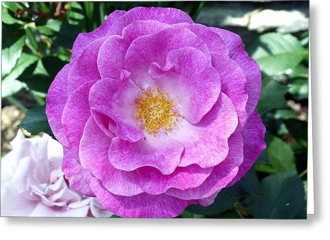 Variegated Pink Rose Greeting Card by Will Borden