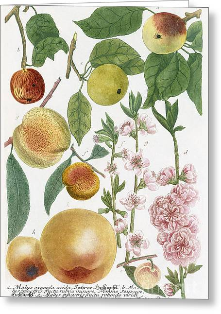 Various Apples With Blossom Greeting Card by Georg Dionysius Ehret