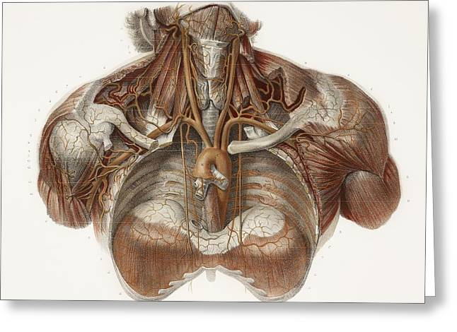 Hand-colored Lithograph Greeting Cards - Vascular Anatomy, Historical Artwork Greeting Card by