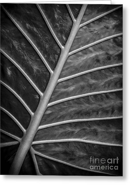 Abstractions Greeting Cards - Veined Leaf - Black and White Greeting Card by James Aiken