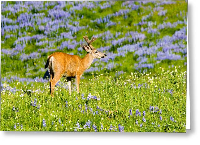 Velvet On Lupine Greeting Card by Mike  Dawson