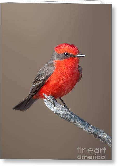 Tyrant Greeting Cards - Vermilion Flycatcher Greeting Card by Clarence Holmes
