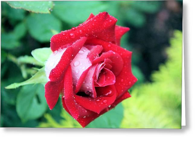 Very Dewy Rose Greeting Card by Kristin Elmquist