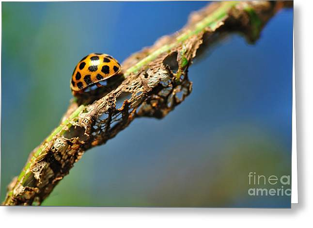 Gold Bug Greeting Cards - Very Hungry Ladybird Greeting Card by Kaye Menner