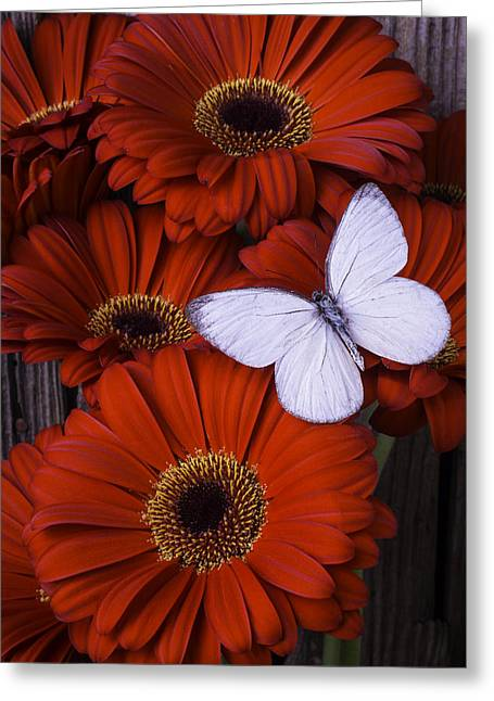 Gerbera Daisy Greeting Cards - Very Red Daisies With Butterfly Greeting Card by Garry Gay