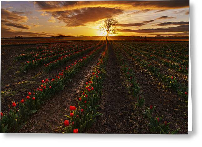 Mount Vernon Greeting Cards - Vibrant Red Rows of Tulips in Skagit at Sunset Greeting Card by Mike Reid
