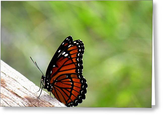 Morph Greeting Cards - Viceroy Butterfly Side View Greeting Card by Rosalie Scanlon