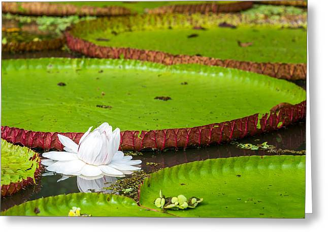 Victoria Amazonica Flower Greeting Card by Jess Kraft