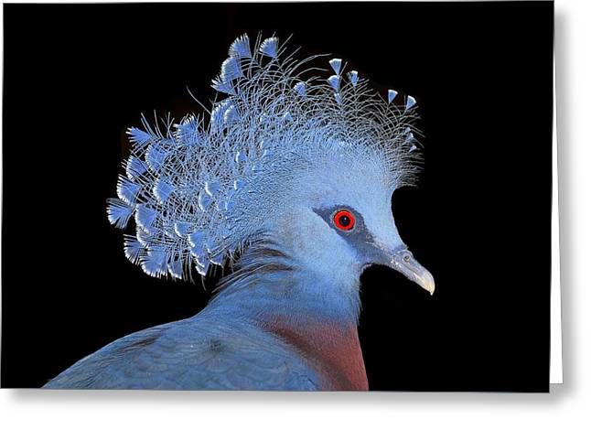 Victoria Crowned Pigeon Greeting Card by John Absher