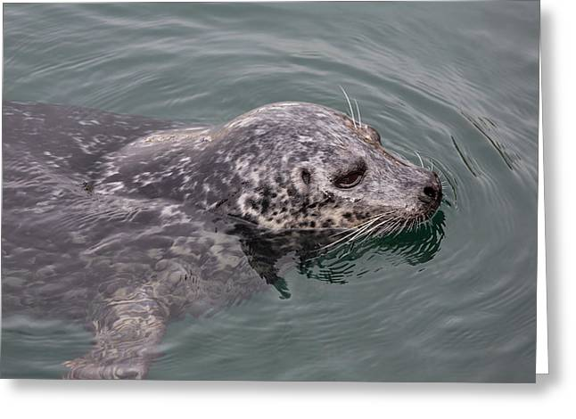 Victoria Johns Greeting Cards - Victoria Seal  Greeting Card by John Daly