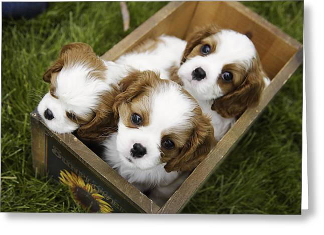Spaniel Greeting Cards - View From Above Of Three Puppies Greeting Card by Gillham Studios