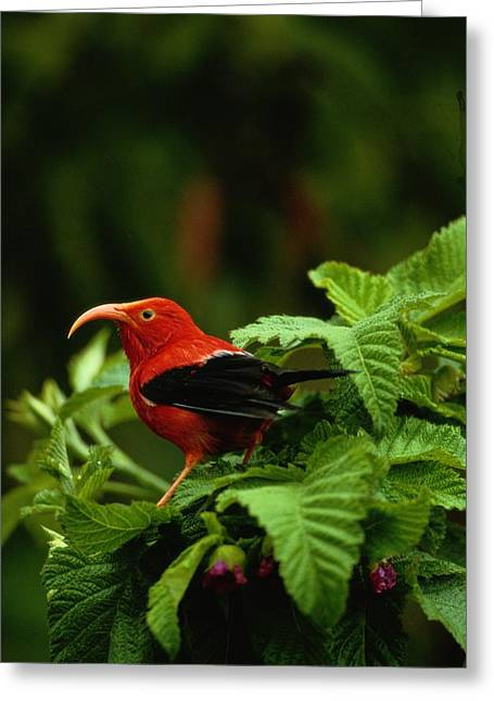 Wildlife Refuge. Greeting Cards - View Of An Iiwi Bird On Akala Or Greeting Card by Chris Johns