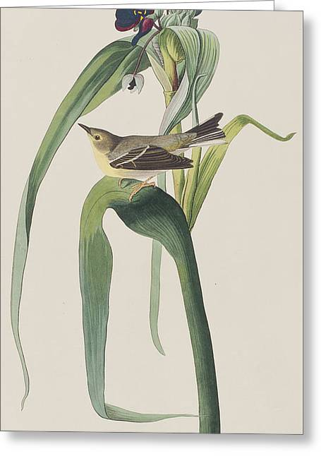 Warblers Greeting Cards - Vigors Warbler Greeting Card by John James Audubon