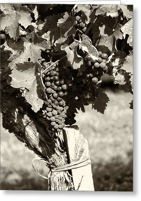 Grape Vines Greeting Cards - Vine and Grapes - Toned Greeting Card by Nomad Art And  Design