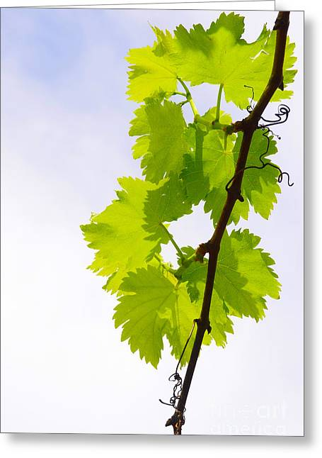 Grape Vineyard Greeting Cards - Vine Leaves Greeting Card by Carlos Caetano