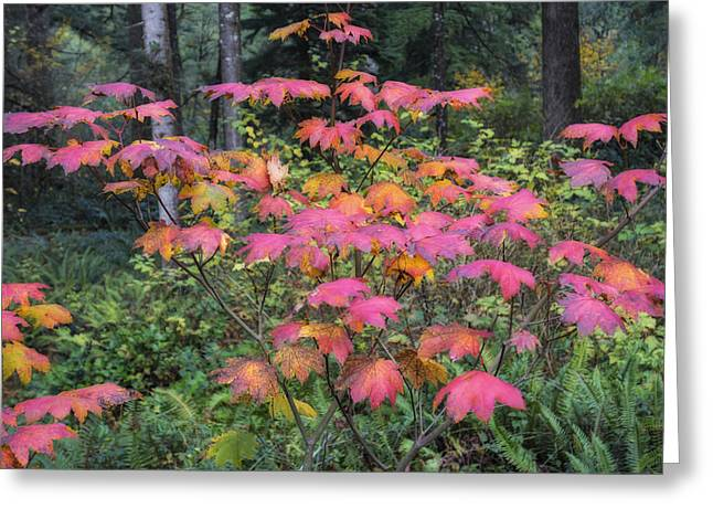 Vine Maple Ablaze Greeting Card by Loree Johnson