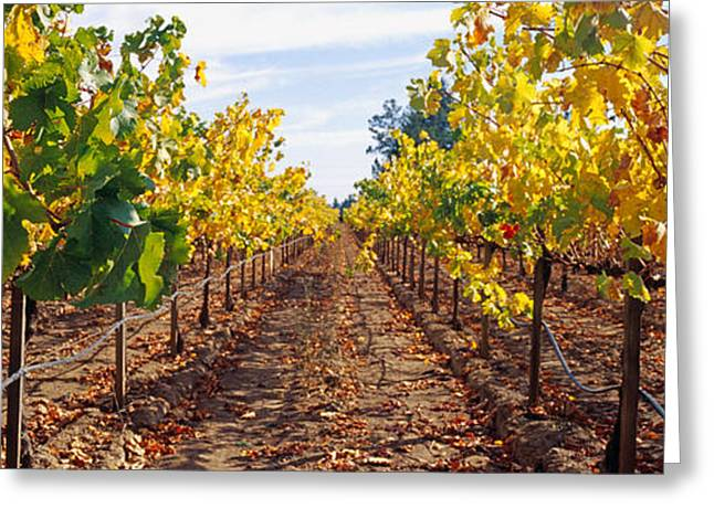 Vines In A Vineyard, Napa, Napa County Greeting Card by Panoramic Images