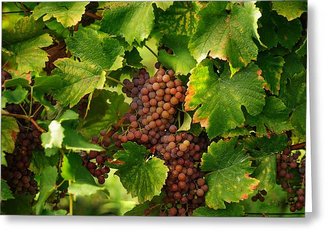 Vines With Ripe Grapes Greeting Card by Jenny Rainbow