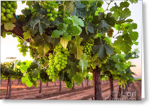 California Vineyard Greeting Cards - Vineyard 3 Greeting Card by Anthony Bonafede