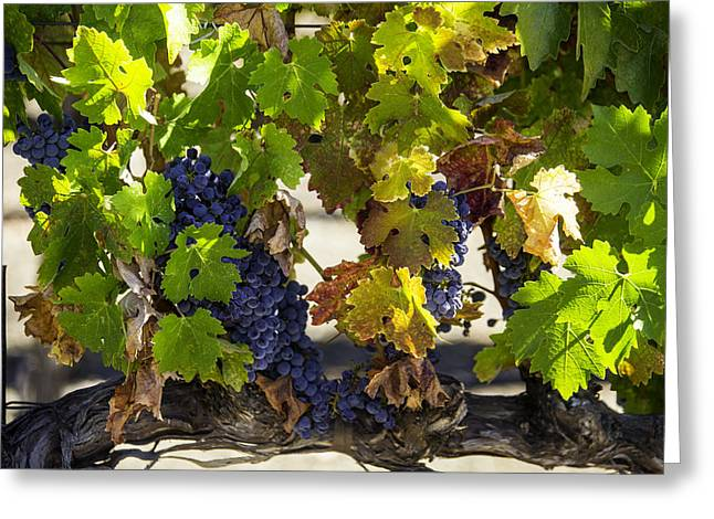 Grapevine Greeting Cards - Vineyard Grapes Greeting Card by Garry Gay