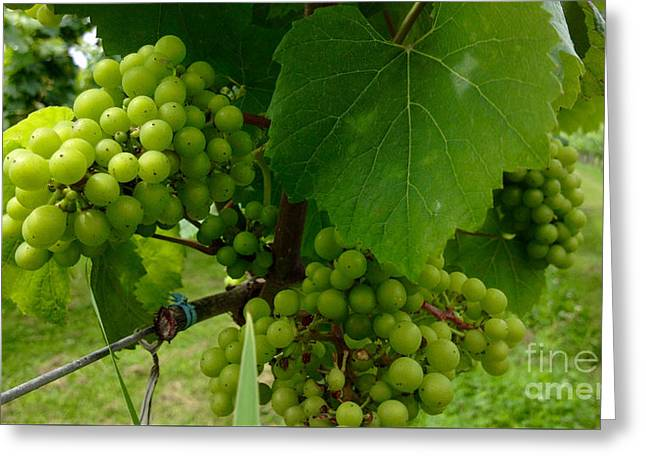 Wine Collector Greeting Cards - Vineyard Grapes Greeting Card by Jason Freedman