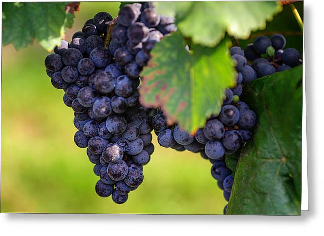 Vineyard Harvest Time Greeting Card by Jenny Rainbow