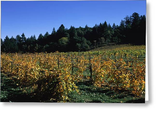 Sonoma County Greeting Cards - Vineyard In Fall, Sonoma County Greeting Card by Panoramic Images