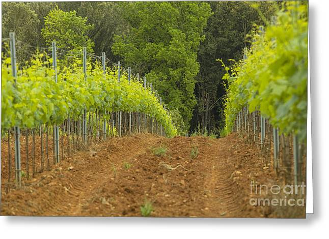 Chianti Vines Photographs Greeting Cards - Vineyard in Tuscany Greeting Card by Patricia Hofmeester