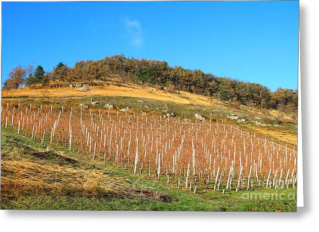 Rolling Hills Vinyards Greeting Cards - Vineyard on hill during autumn Greeting Card by Gregory DUBUS