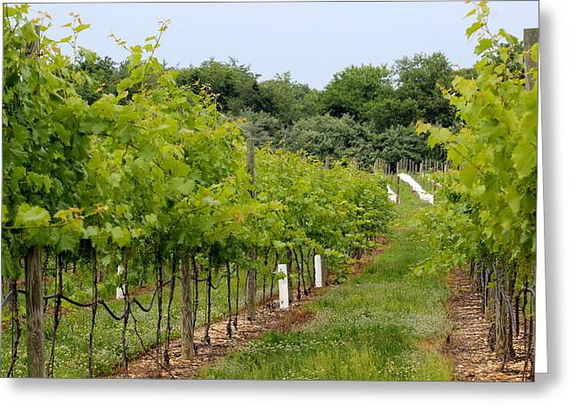 Grape Vineyard Greeting Cards - Vineyard Path Greeting Card by Brian Manfra