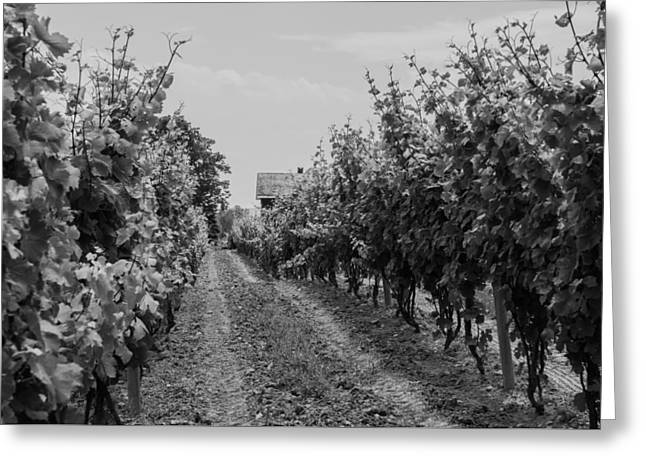 Grape Vineyard Greeting Cards - Vineyards of old Horizontal BW Greeting Card by Photographic Arts And Design Studio