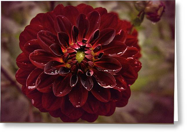 Burgundy Greeting Cards - Vintage Burgundy Dahlia Greeting Card by Richard Cummings