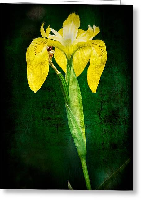 Canna Greeting Cards - Vintage Canna Lily Greeting Card by Rich Leighton